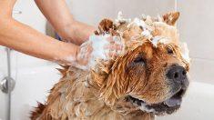 Aprende cómo hacer un champú casero para perros