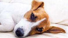 Prevenir y tratar la disfunción eréctil en el perro