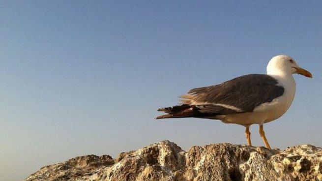 Las gaviotas son aves entre medianas y grandes.