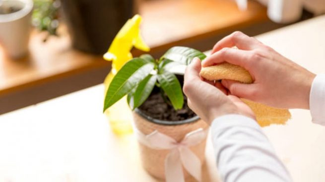 limpiar hojas plantas de interior