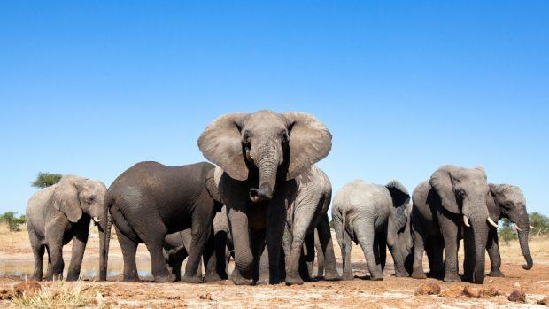 Tamaños de elefantes