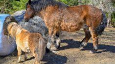 Los caballos de diferentes tamaños