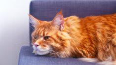 Prevención y tratamiento de los  tumores cutáneos en el gato