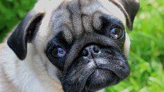 ¿Tu perro a veces llora?