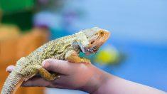 ¿Cuántos tipos de lagartos hay?