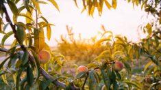 Guía para sembrar duraznos paso a paso