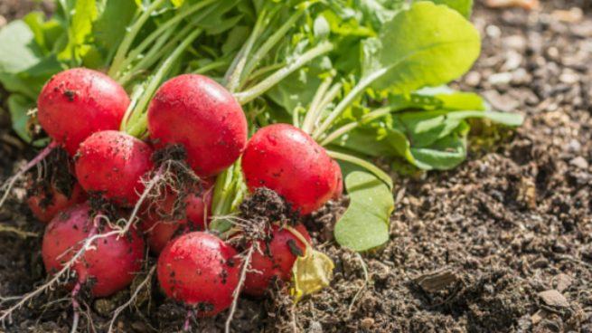 Cómo plantar rábanos y cultivarlos de fácil manera