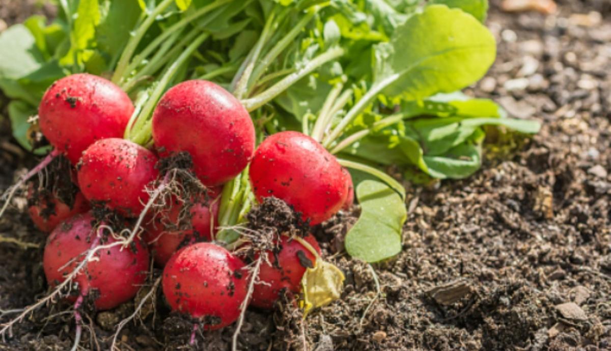 Pasos para plantar rábanos y cultivarlos de fácil manera