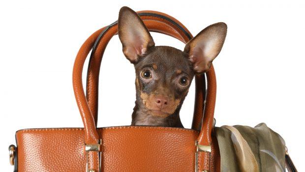 Lllevar a tu perro pequeño en un bolso