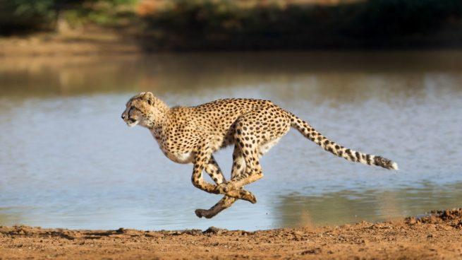 El animal más veloz de la selva
