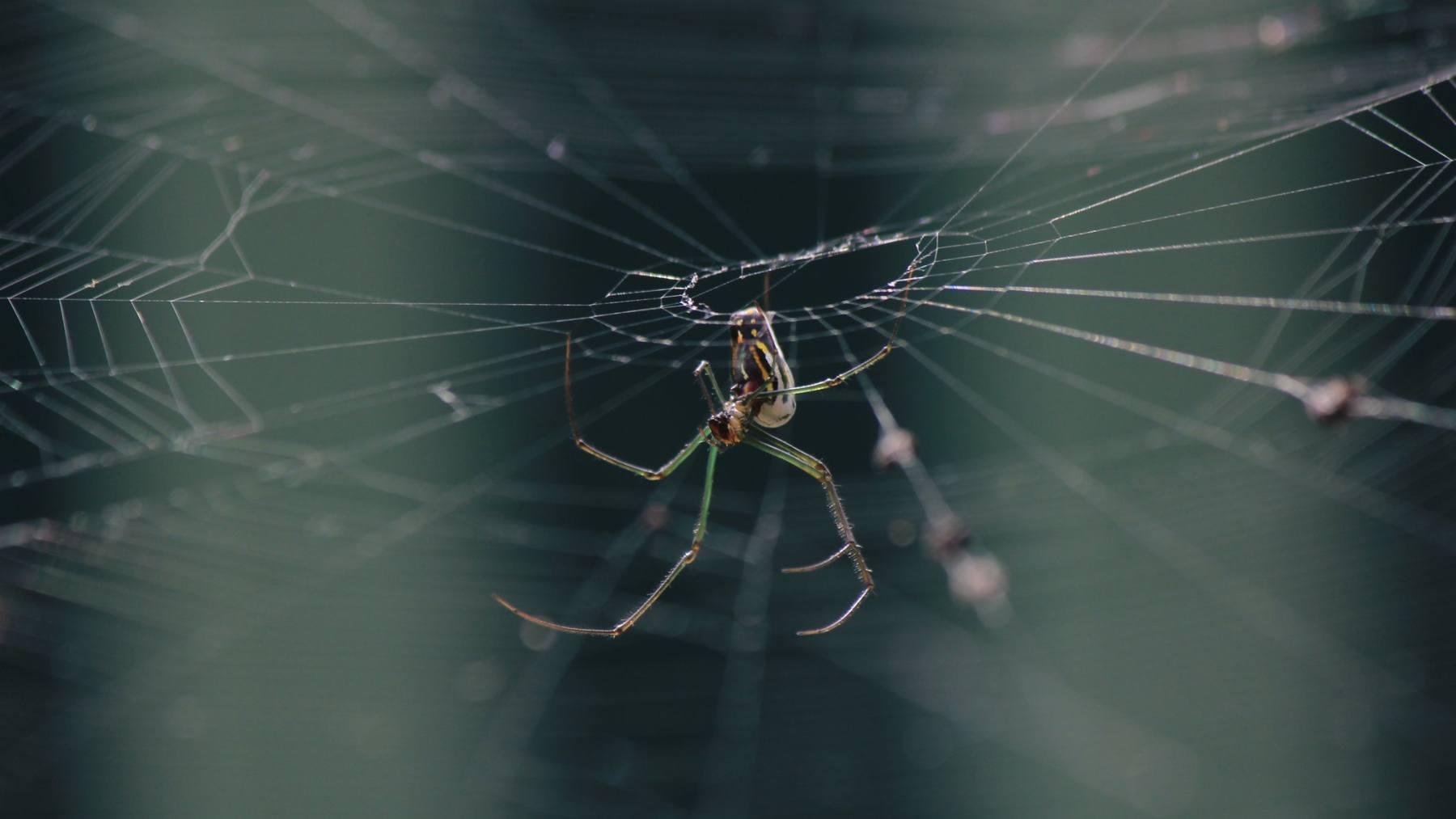 Las arañas de casa