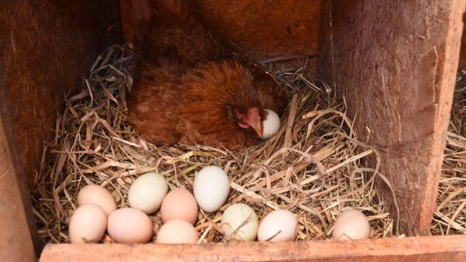 Evitar que las gallinas se coman sus huevos