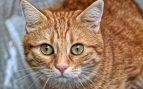 Tumores cutáneos en el gato