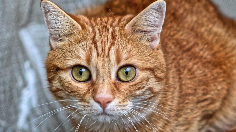 Prevenir y tratar tumores cutáneos en el gato