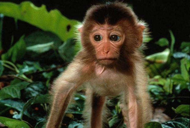 Un mono en cautiverio