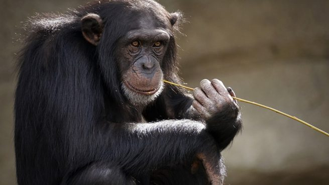 Tener un mono en cautiverio