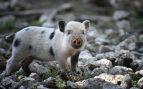 Un cerdo como mascota