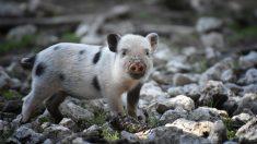 Tips para tener un cerdo como mascota