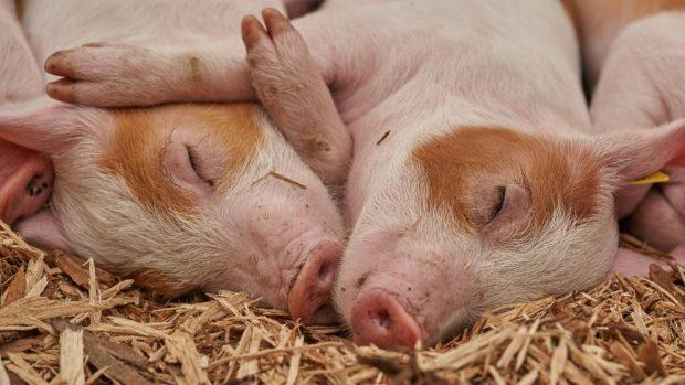 Tener un cerdo como mascota