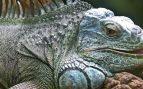 La iguana es un reptil que habita en las zonas tropicales, especialmente de Sudamérica y América Central.