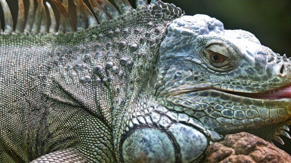5 datos de las iguanas