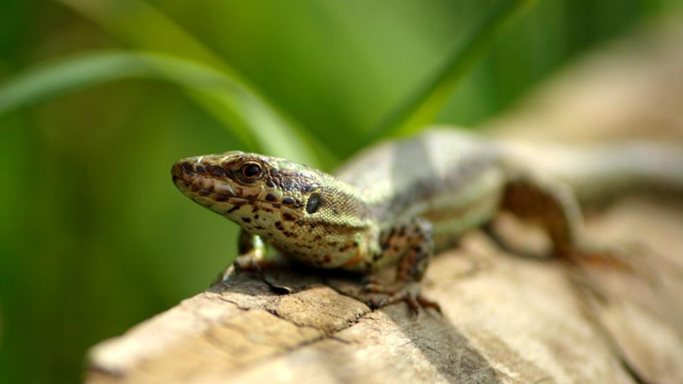 Las diferencias que hay entre lagartijas y salamandras