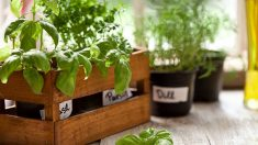 Todos los pasos para cultivar plantas aromáticas en macetas