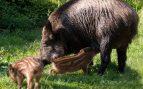 Cría doméstica del jabalí