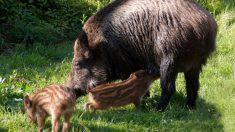 Consejos para la cría del jabalí