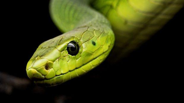 Serpientes más venenosas