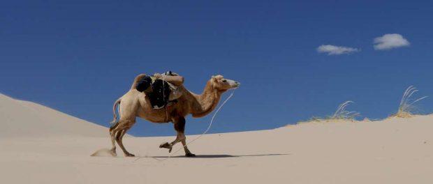 ¿Cómo se alimenta el camello?