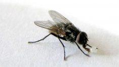 La mosca, vehículo transmisor de enfermedades