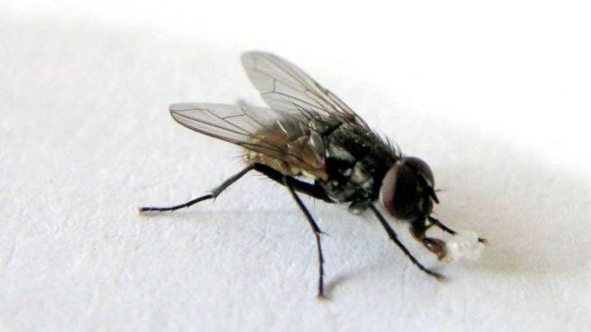 Las moscas transmiten enfermedades