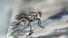 Capacidad de las moscas para transmitir enfermedades