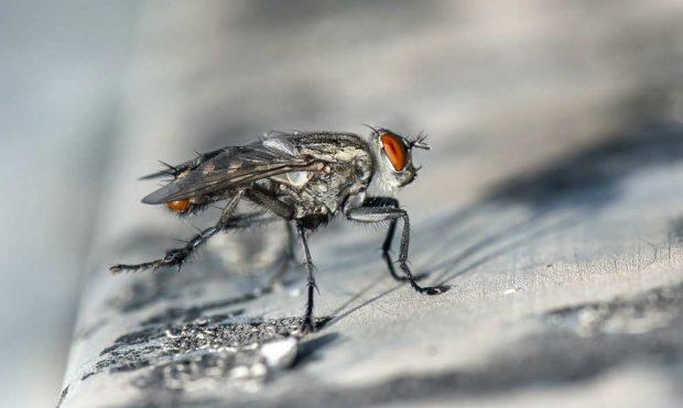 La mosca transmite enfermedades