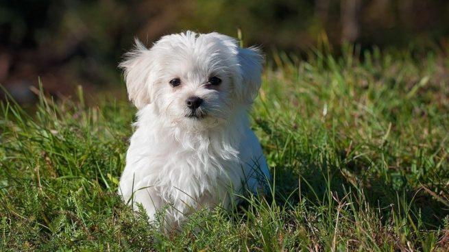 Parásitos intestinales en los cachorros: cómo son, causas, síntomas y tratamiento