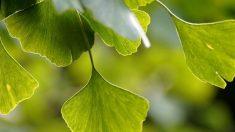 Ginkgo biloba: qué es, usos, beneficios y otras curiosidades