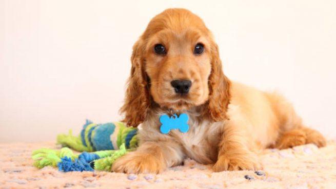 hacer chapa de identificación para tu perro