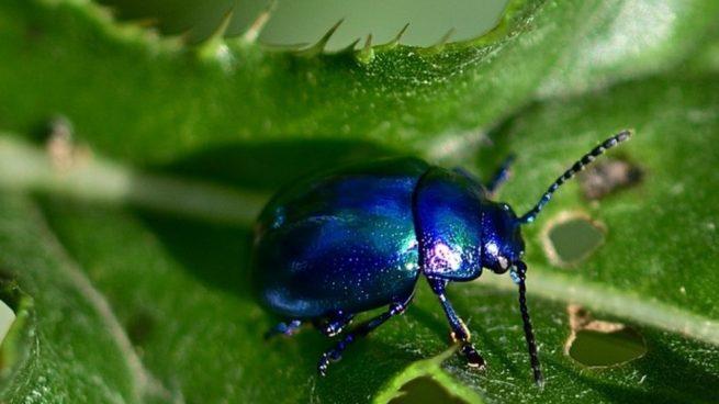 que es el insecto mas pequeño