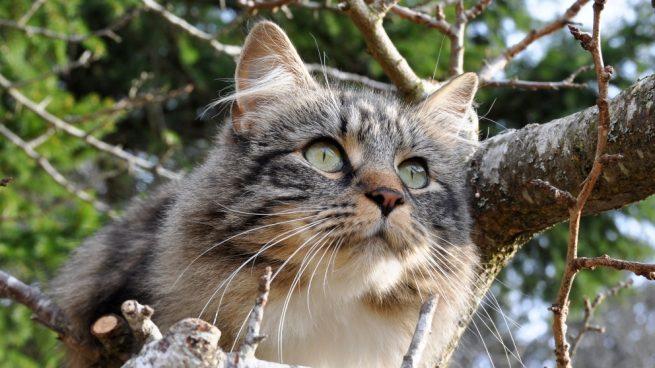 El gato del bosque