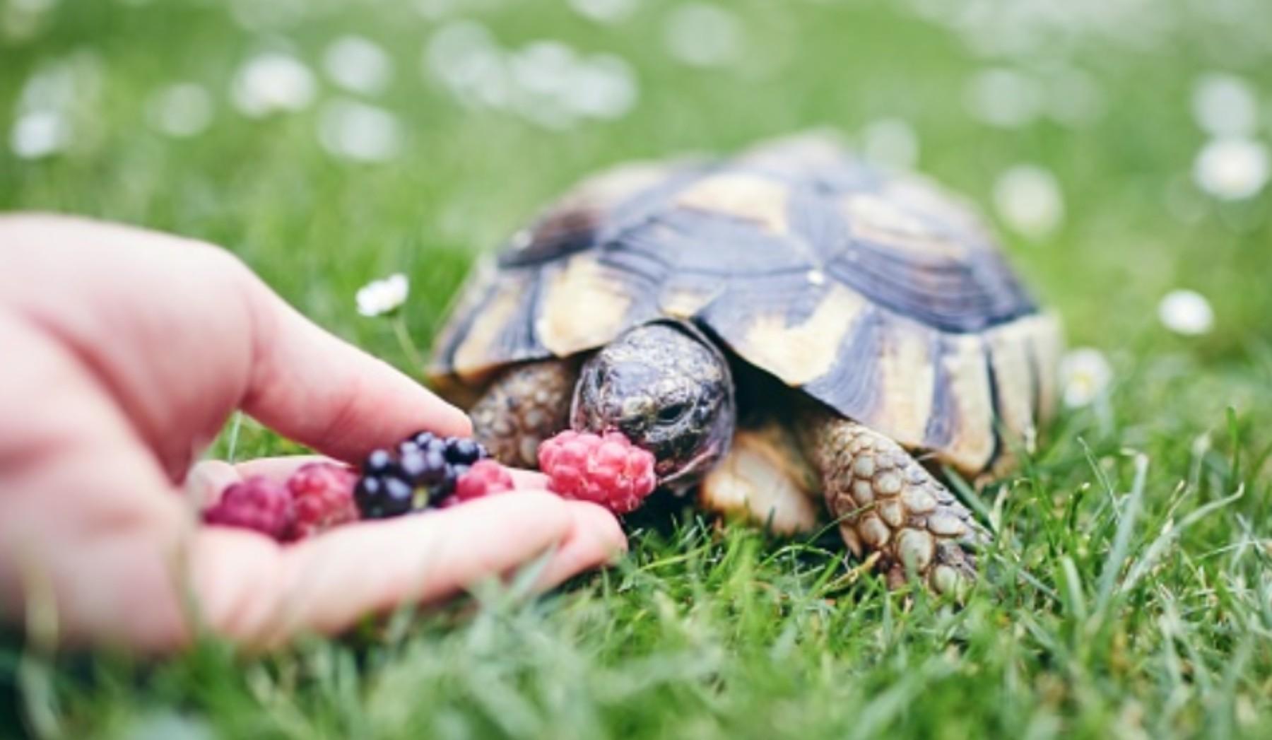 Cómo saber cuántos años tiene una tortuga