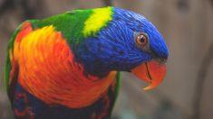 El loro arco iris es una de las especies más coloridas del mundo