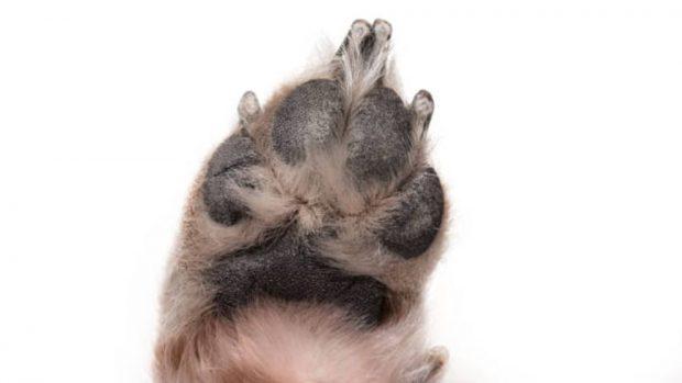 tratar curar almohadillas de los perros