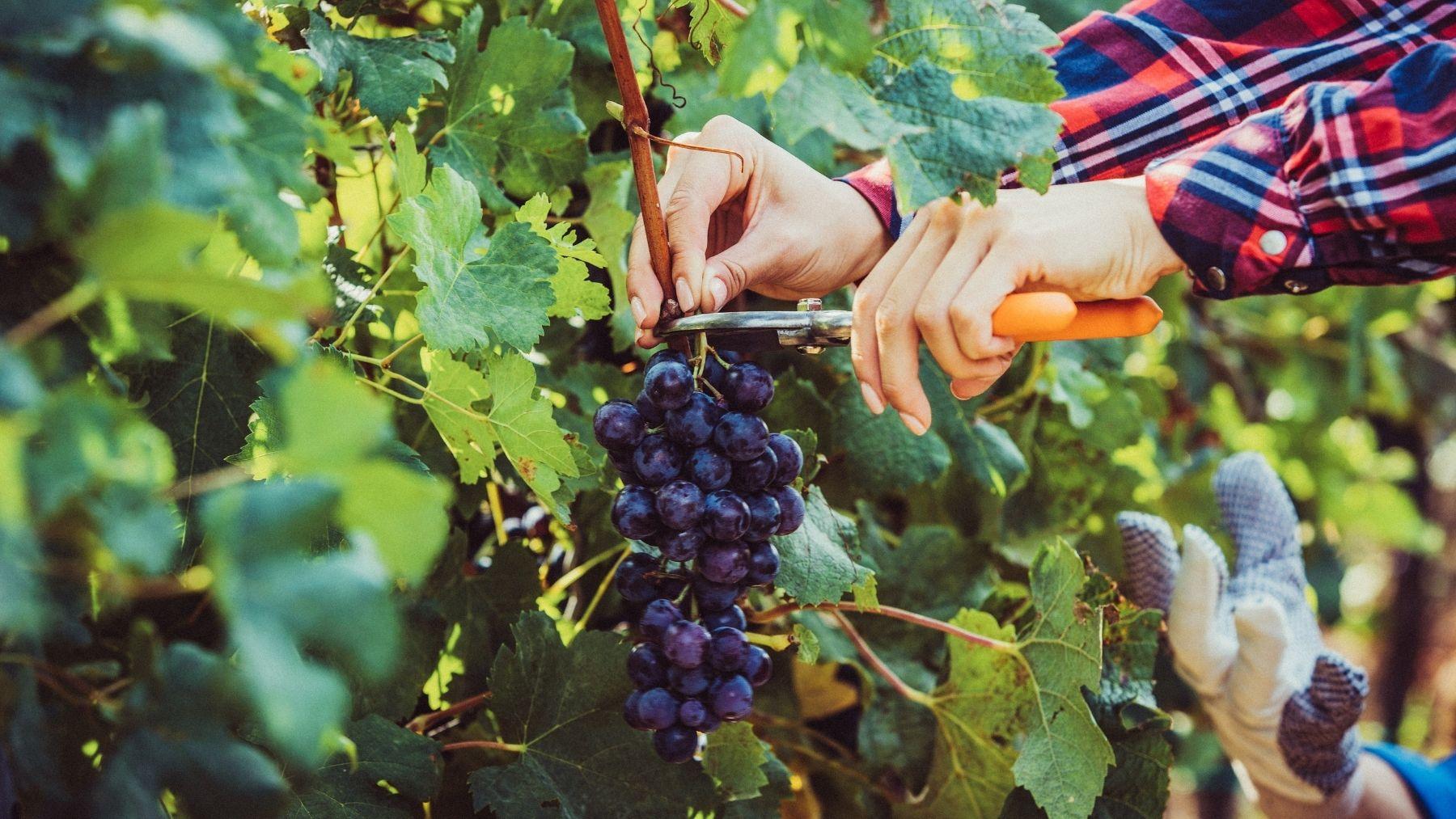 Cómo cosechar la uva