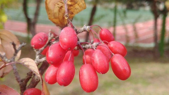 La Schisandra chinensis, más conocida simplemente como Schisandra, es una planta originaria del norte de China.