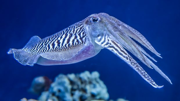 El calamar y la sepia