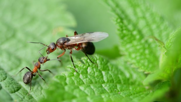 La hormiga reina