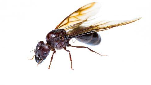 ¿Cómo es la hormiga reina?