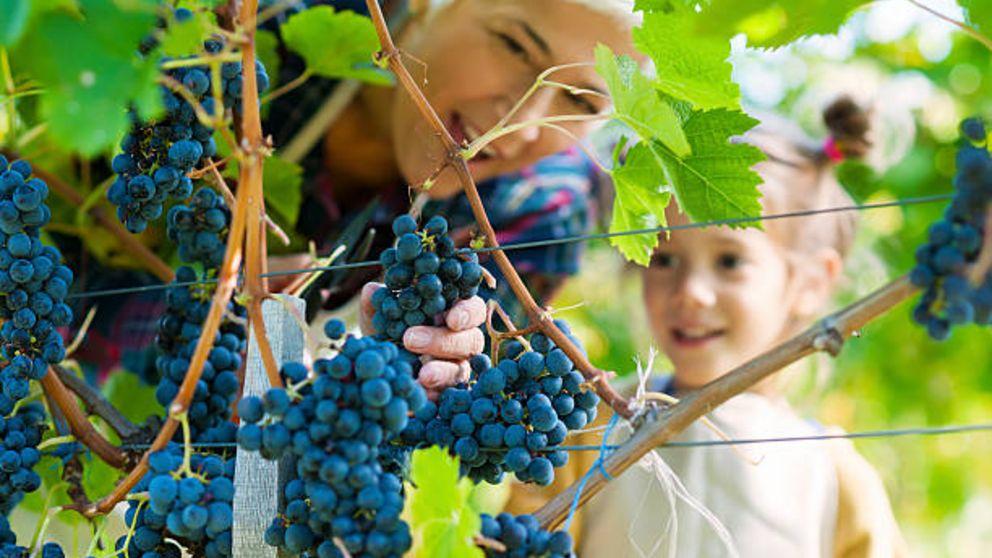 Todos los pasos para hacer la cosecha de la uva en familia
