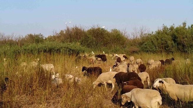 Cómo el pastoreo de ovejas ayuda a un ave en peligro de extinción